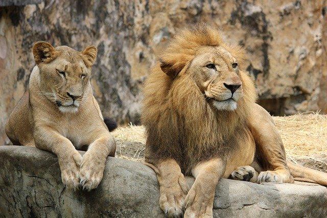 Львица случайно зацепила когтем язык льва