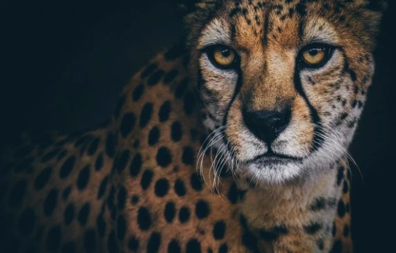 Трогательный взгляд гепарда способен вызвать массу эмоций
