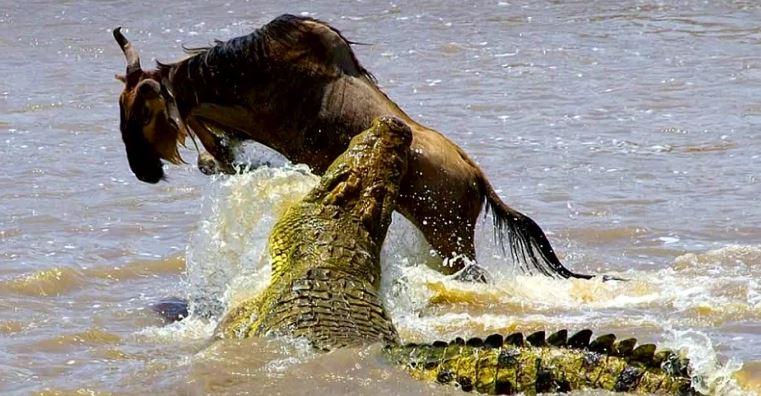 Антилопу, пойманную крокодилом возле реки, спасли от участи добычи — бегемоты