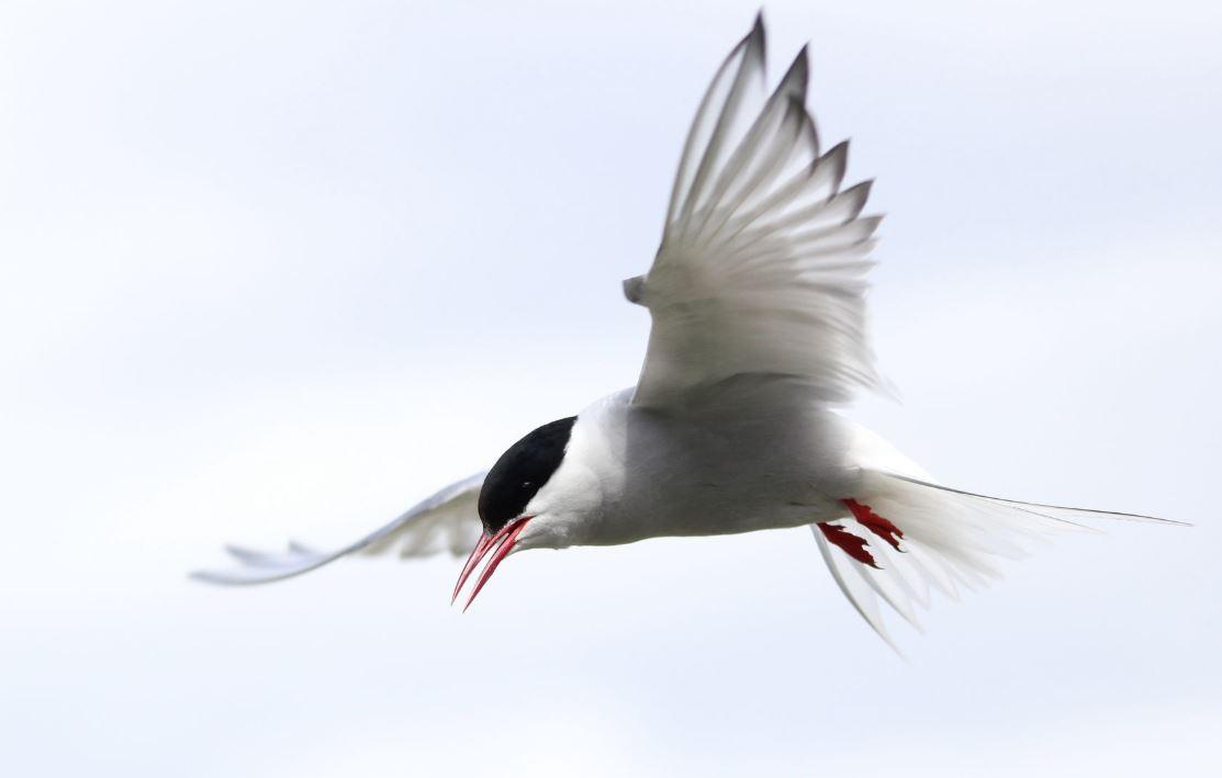 Полярная крачка: верная птица и любительница перелётов