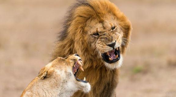 Неожиданное вмешательство львицы в охоту льва
