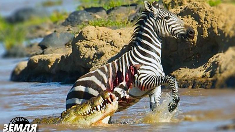 Зебра в пасти крокодила: спасётся, если вырвется