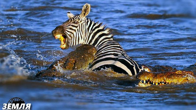 Трагическая схватка крокодила и зебры