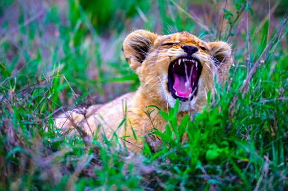 Маленькие котята вырастая становятся большими кошками — львами, леопардами и тиграми