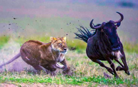 Антилопа, отбившаяся от стада, стала добычей львицы