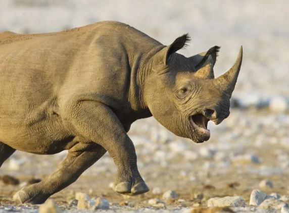 Слон напугал носорогов своим видом, а потом ещё их и потоптать решил