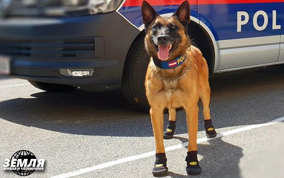 Зачем в Австрии обули полицейских собак?