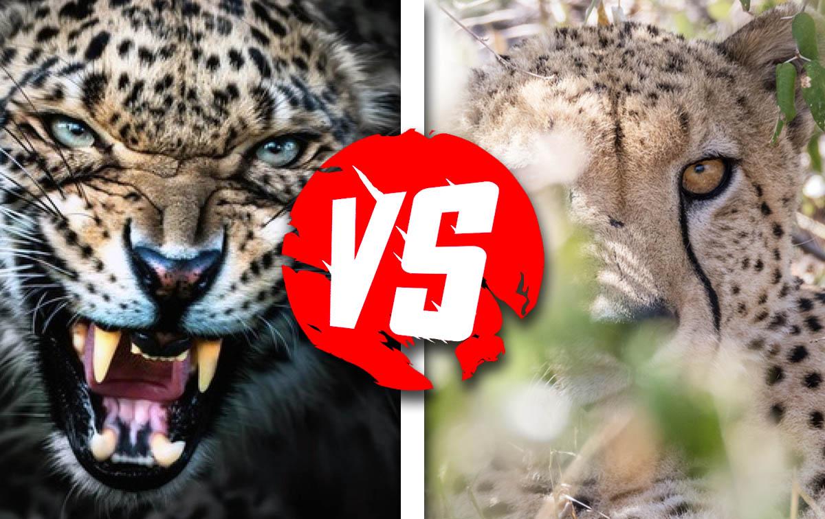 Леопард против гепарда: смертельная схватка хищников