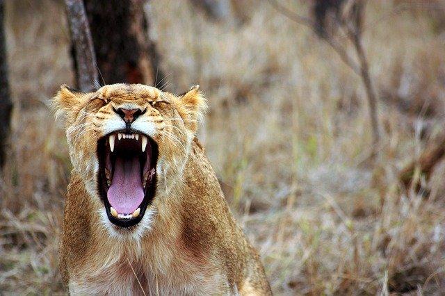 Антилопа вырывается из объятий двух хищниц — львиц