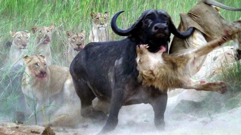 Буйвол вырвался из львиного плена, поддев вожака прайда рогом и проявив свой характер