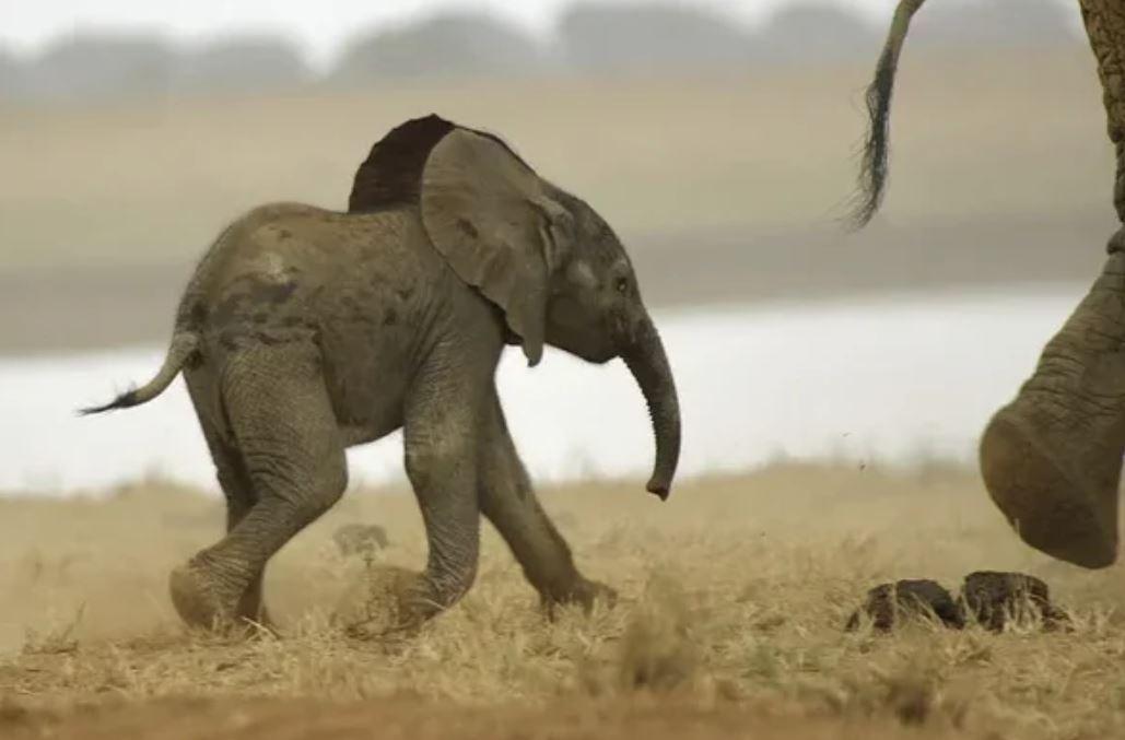 Стадо слонов уходит дальше, а слонёнок не может забраться на пригорок, боится отстать и потеряться