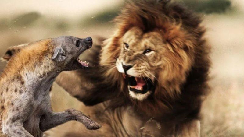 Окруженный гиенами лев готовится к последней схватке в своей жизни