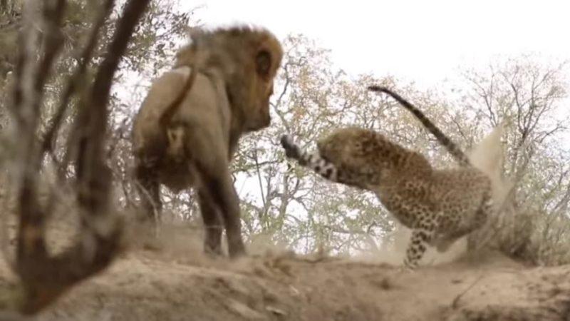 Лев попытался напасть на спящего леопарда