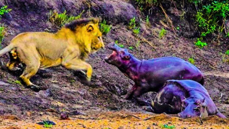 Малыш-бегемот не испугался льва и стал защищать свою мать, попавшую в трясину