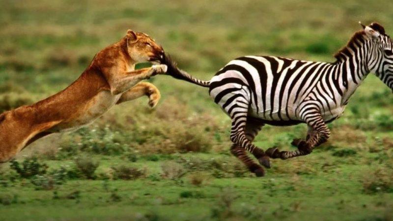 Львицу от зебры отделяют всего несколько метров. Охота почти удалась…