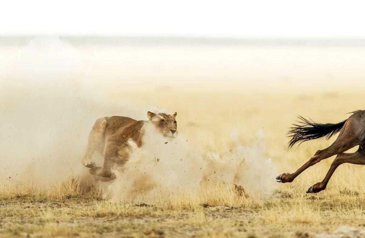 Львята остаются в прайде, а львицы на охоту идут, чтобы малышей порадовать и накормить