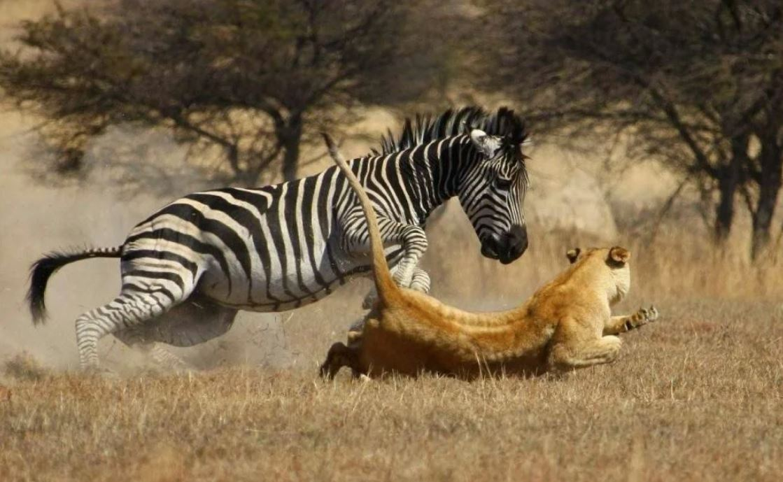 Хотела львица с зеброй поговорить по душам. А получилось?