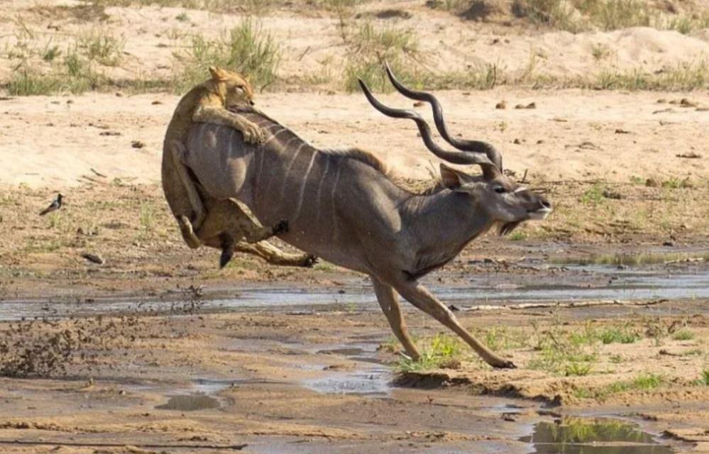 Львица почти поймала антилопу, но та «выстрелила» копытами и у хищницы аппетит мгновенно пропал