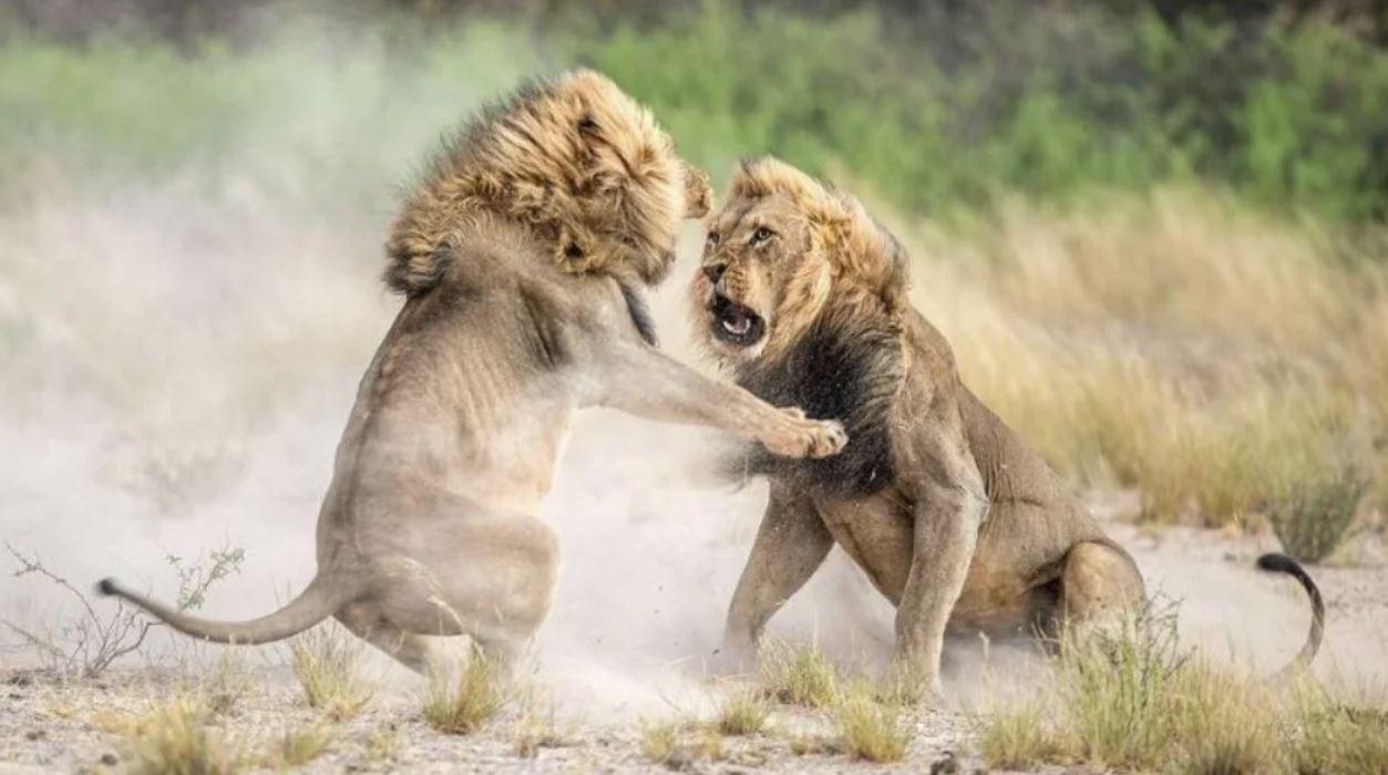 Молодой лев бросил вызов вожаку прайда и проиграл