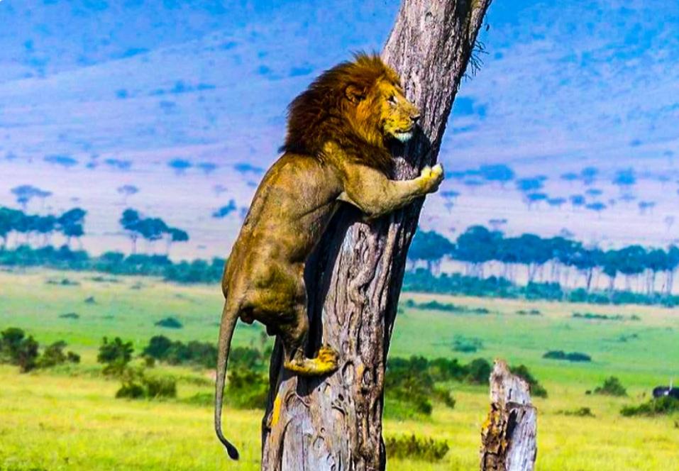 Спастись от стада буйволов льву удалось только на дереве