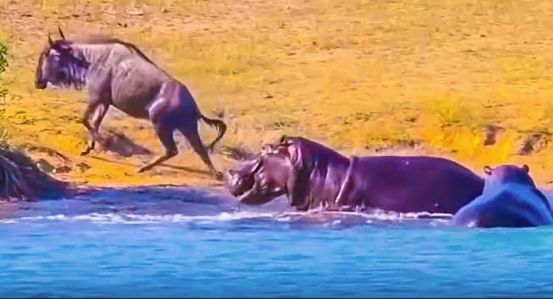 Пойманную крокодилом антилопу спасают бегемоты