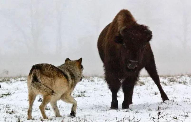 Стая волков преследует бизонов. Одному суждено стать добычей хищников.