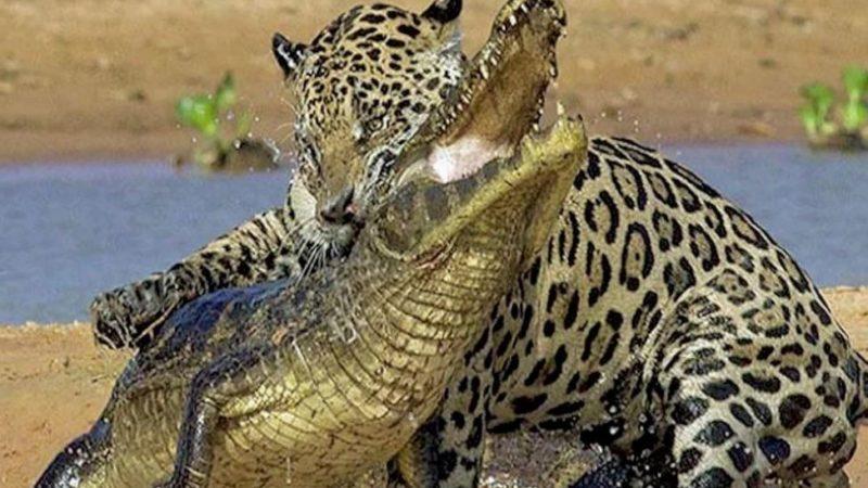 Внезапная атака ягуара не оставила кайману шансов на спасение