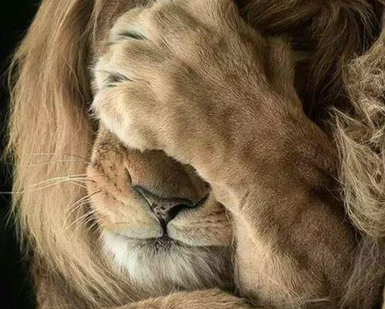 Стыдно, но спасаться от буйволов льву пришлось бегством