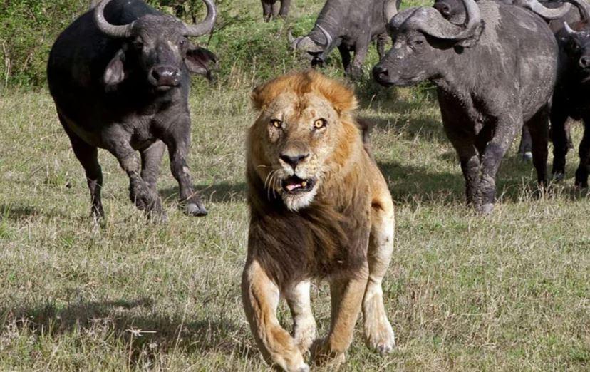 Буйволам удалось отбить слонёнка от свирепых хищников — львов