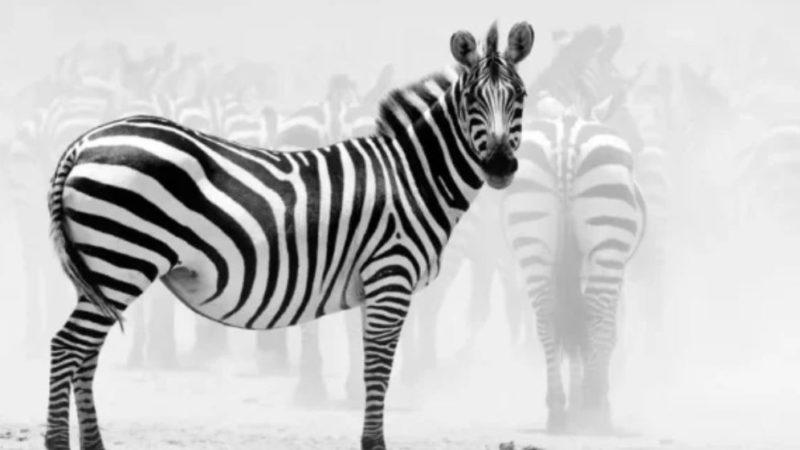 Бородавочнику от зебры досталось сильно: задним копытом по «котелку»