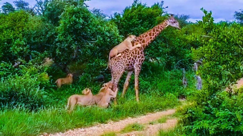 Львы выбрали необычный способ охоты на жирафа