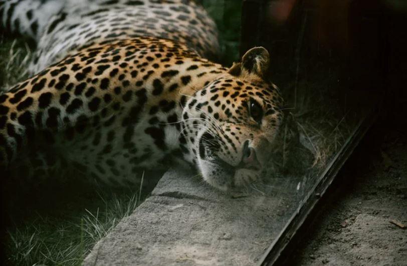 Гиена спасла бородавочника от хищника: леопард остался без добычи