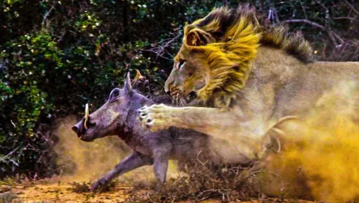Вмешательство льва в охоту львиц помогло бородавочнику спастись из объятий охотниц