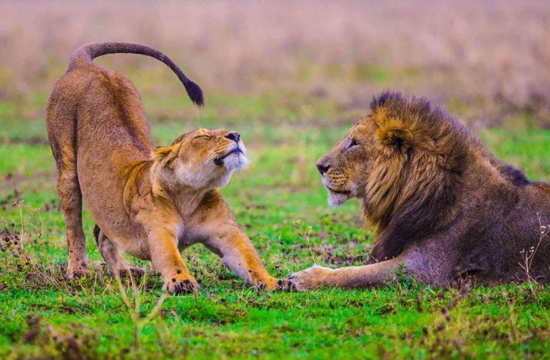 Лев погнался за газелью, но неожиданно столкнулся с ней — со своей будущей львицей!