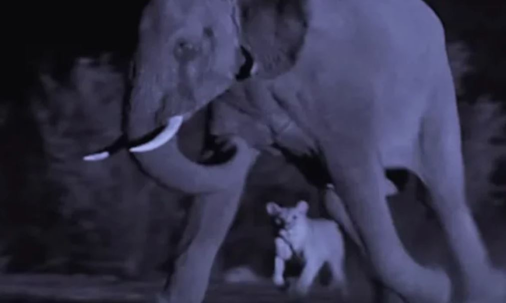 Ночная охота львицы на слона